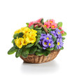 Basket of Primroses