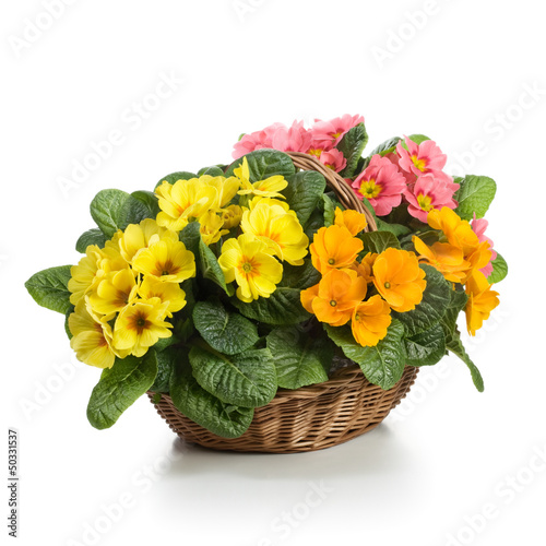 Primroses in Basket