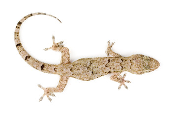 Gecko top view