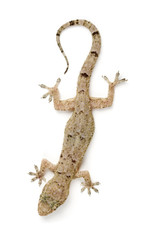 Gecko going down