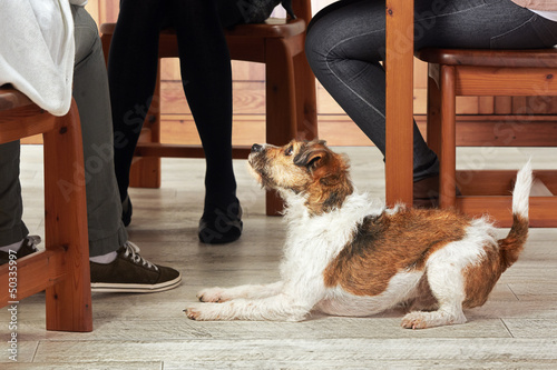 Parson Jack Russell Terrier at home