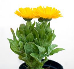 3 fiori di calendula