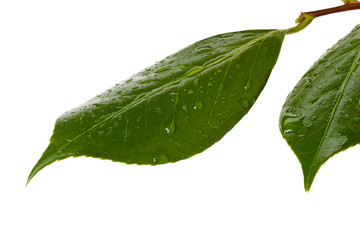 Camellia leaves with water drops