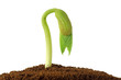 pflanzenkeim