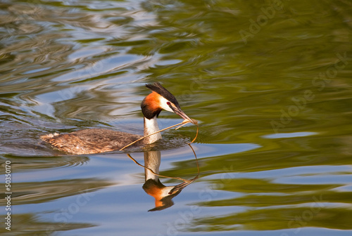 Great crested grebe. Podiceps cristatus.