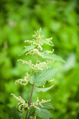 green nettle flowering