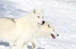 deux loups blanc
