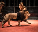 Gorgeous roaring lion walking on circus arena and lioness sittin