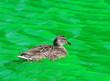 Female Mallard Duck swimming in Green Dyed Canal Water