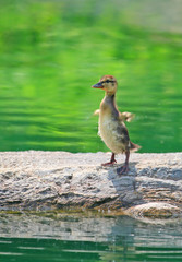 Young Mallard Duckling standing on the rock