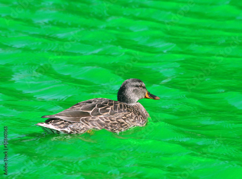 Female Mallard Duck swimming in Green Dyed Canal Water