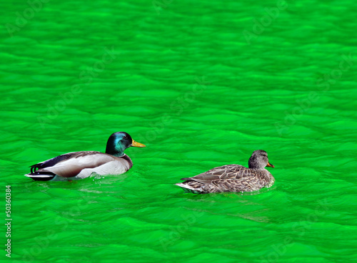 Mallard Duck Couple swimming in Green Dyed Canal Water