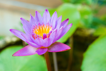 Single lotus flower in the pond