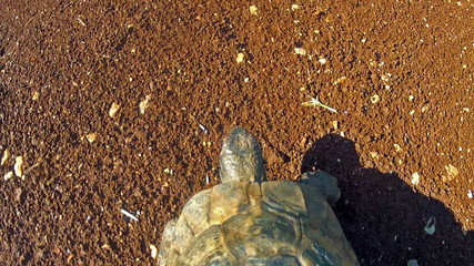 Tortoise walks on soil, from above