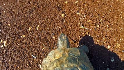 Tortoise walks on soil, from above