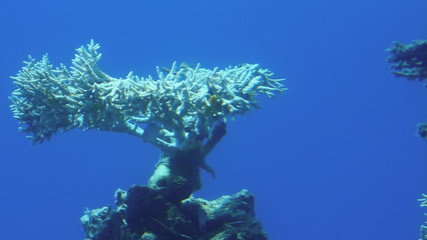 Corals in Red Sea