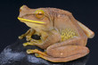 Giant Tree Frog / Boophis albilabris