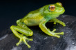 Golden-eyed Tree Frog / Boophis albipunctatus