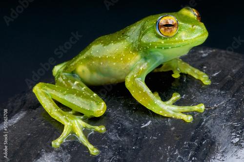 Golden-eyed Tree Frog / Boophis albipunctatus