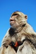 Barbary ape, Gibraltar © Arena Photo UK