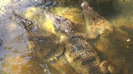calin de crocodiles