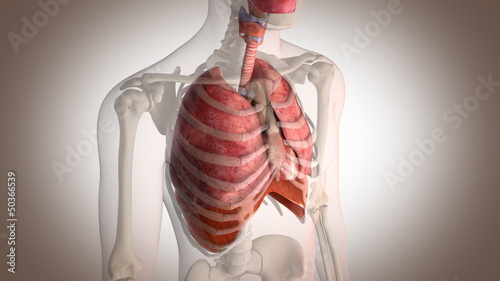 internal organs in action perspective view with motion