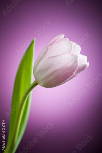 tulipan-kwiat-na-fioletowym-tle