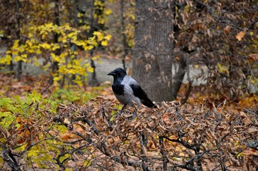 Hooded crow on hedge in Fall season