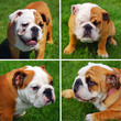 cute english bulldog`s collage