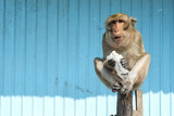 Cool monkey - wild macaque monkey with ice bag