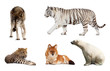 Set of Carnivora mammal. Isolated over white