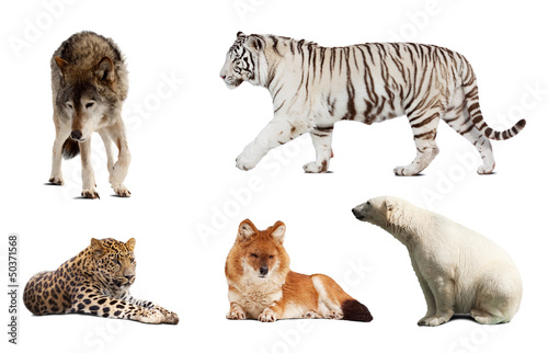 Poster Luipaard Set of Carnivora mammal. Isolated over white