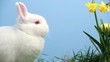 White bunny rabbit with easter eggs stuck in bunch of daffodils