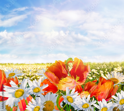Springtime: field of daisy flowers with blue sky and sun