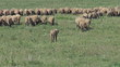 Flock of sheep graze on green field