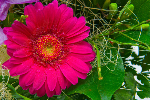 canvas print picture Gerbera.