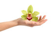 Beautiful woman hand holding a green orchid