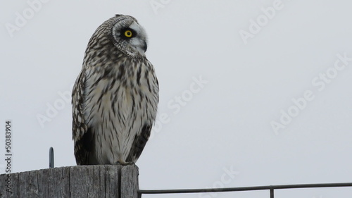 Short-eared owl in winter