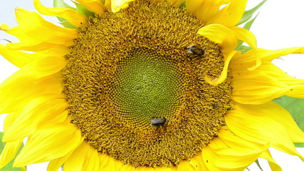 macro of sunflower bloom and bumblebee bee collect pollen