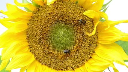 macro of sunflower bloom and bumblebee bee collect pollen