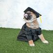 Graduating Puppy