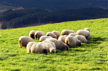 flock of typically basque latxa sheep