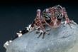 Masobe Gecko / Paroedura masobe