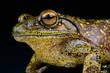 Giant Tree Frog / Boophis goudoti