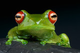 Red-Eyed Tree Frog / Boophis luteus