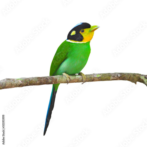 Long - tailed Broadbill Birds