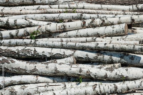 Foto op Aluminium Berkbosje Fresh cutted birch logs.