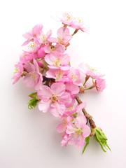 カワヅザクラ Sakura tree