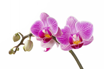 Phalaenopsis; moth orchid flowers and buds on white