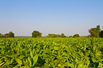 Tobacco farm against blue sky